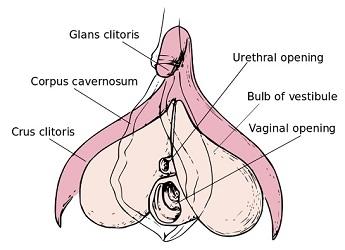 Le clitoris, cet inconnu existe !