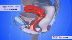 organe féminin